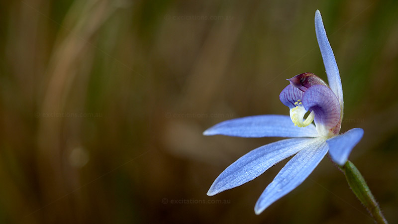 Close-up of Blue Finger native terrestrial orchid, Australia photo adventures by Excitations.