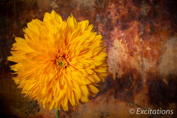 Vivid saturated double sunflower supplied by excitations .com.au