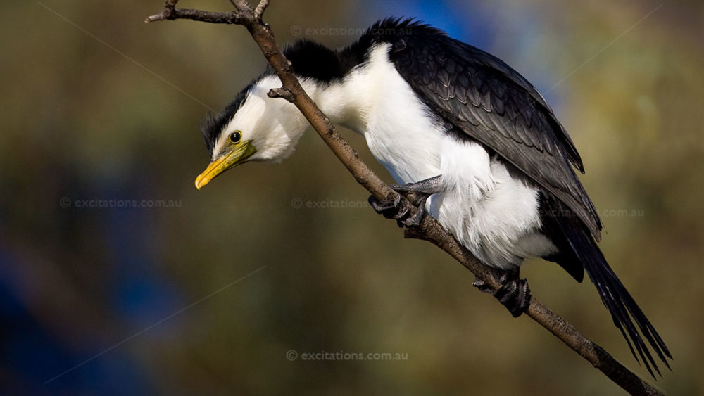 Little Pied Cormorant photographed on a photography adventure course by Excitations. Photo Adventures Australia online