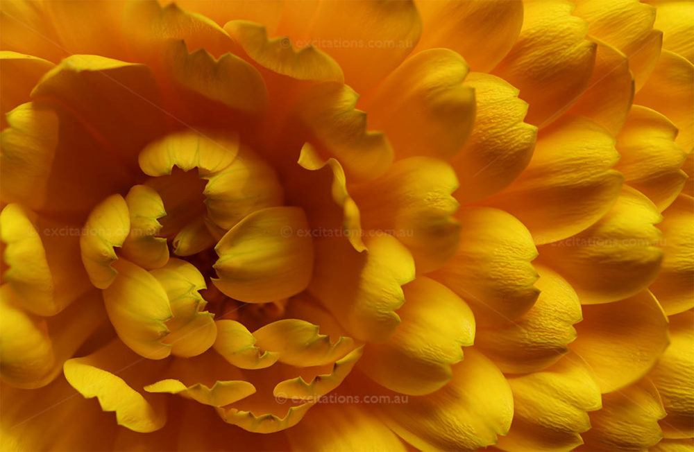 Closeup of petal detail of yellow calendula flower available to license from Excitations stock pictures Australia.